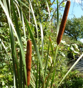 Small Reedmace (Typha angustifolia)